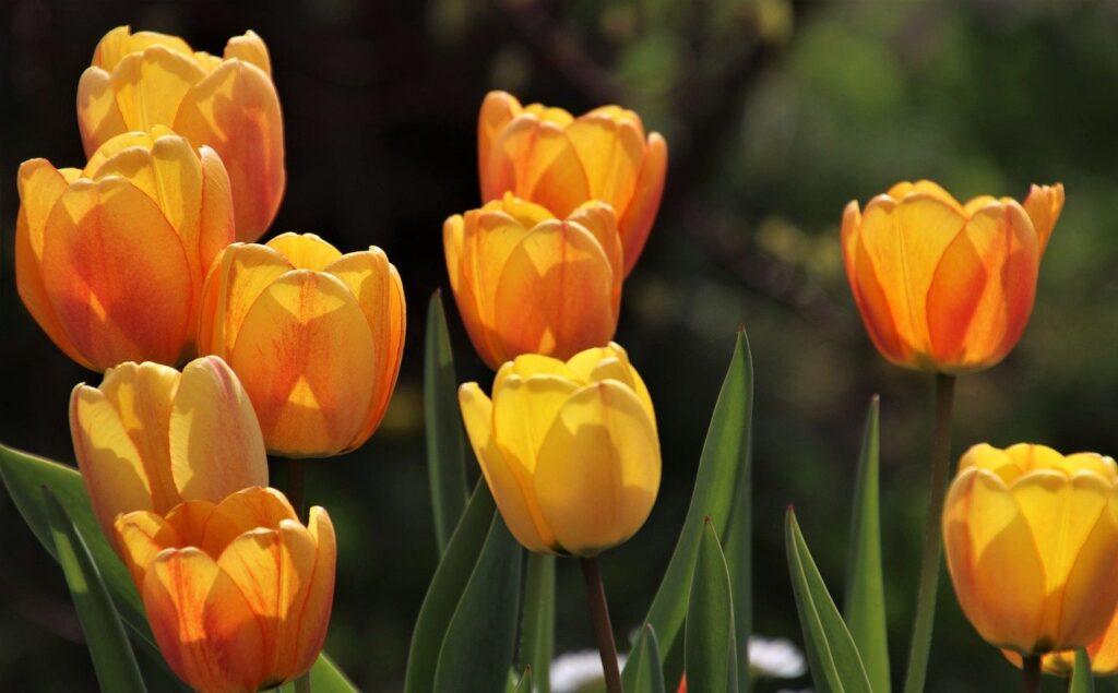 tulips, yellow tulips, flowers